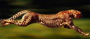 Like Cheetah Magic
